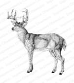 WHITETAIL Cling Mounted Rubber Stamp by Melissa Gordon from Impression Obsession